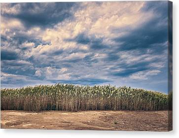 Cane Thicket Canvas Print by Emanuele Carlisi