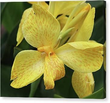 Canna Amarillo IIi Canvas Print by Suzanne Gaff