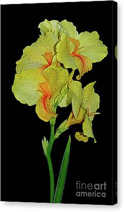 Canna Lily Be So Pretty? Canvas Print by Kaye Menner