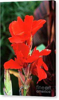 Canna Lily 'lucifer' Canvas Print by Adrian Thomas