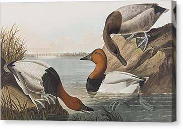 Canvas Backed Duck Canvas Print by John James Audubon