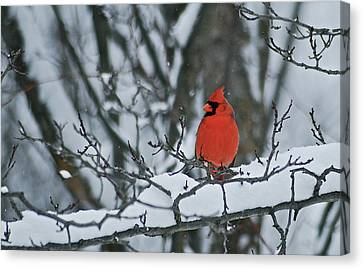 Cardinal And Snow Canvas Print by Michael Peychich