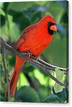 Cardinal Canvas Print by Juergen Roth