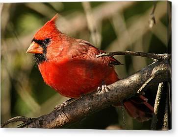 Cardinal Up Close Canvas Print by Alan Lenk