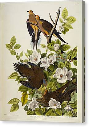 Carolina Turtledove Canvas Print by John James Audubon