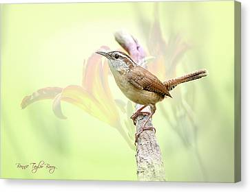 Carolina Wren In Early Spring Canvas Print by Bonnie Barry
