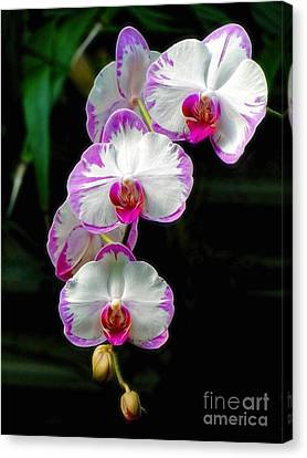 Cascading Orchid Beauties Canvas Print by Sue Melvin