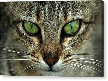 Cat Eye  Canvas Print by Ramabhadran Thirupattur