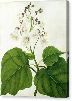 Catalpa Speciosa Canvas Print by Matilda Conyers
