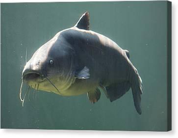 Catfish Canvas Print by Jonathan Kotinek