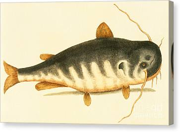 Catfish Canvas Print by Mark Catesby