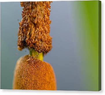 Cattail Canvas Print by Don L Williams