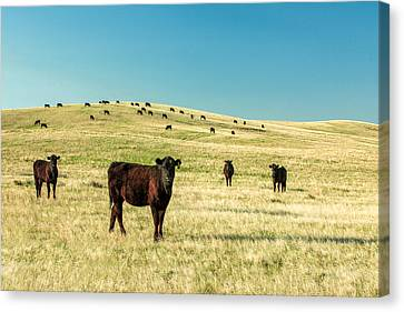 Cattle Grazing On The Plains Canvas Print by Todd Klassy