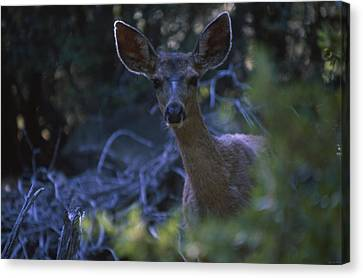 Cautious Curiosity  Canvas Print by Soli Deo Gloria Wilderness And Wildlife Photography