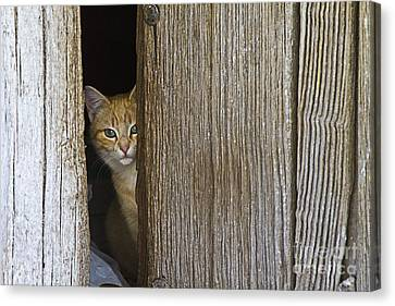 Cautious Kitty Canvas Print by Heiko Koehrer-Wagner