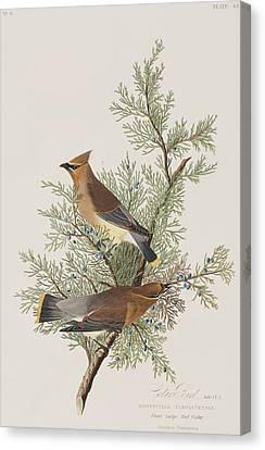 Cedar Bird Canvas Print by John James Audubon