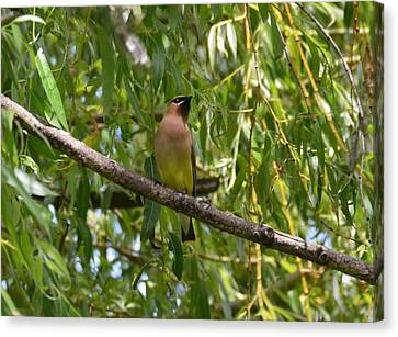 Cedar Waxwing Canvas Print by Judd Nathan