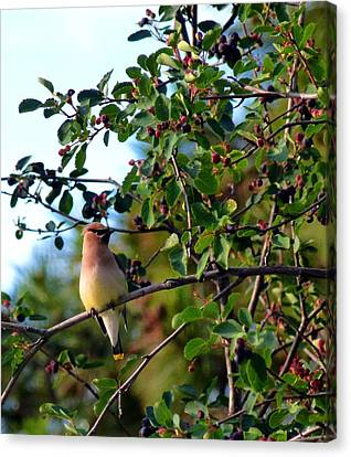 Cedar Waxwing Canvas Print by Will Borden