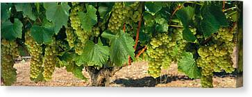 Chardonnay Grapes On The Vine, Napa Canvas Print by Panoramic Images