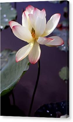Charming Lotus Canvas Print by Lian Wang