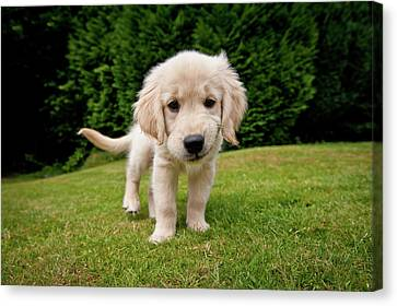 Cheeky Pup Canvas Print by Richard Downs