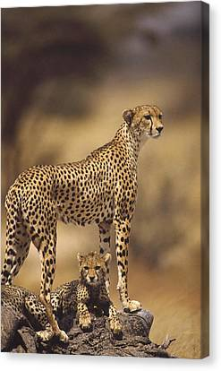 Cheetah Acinonyx Jubatus Mother With Canvas Print by Gerry Ellis