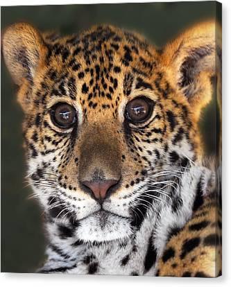 Cheetah Canvas Print by Craig Incardone