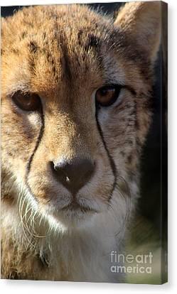 Cheetah Canvas Print by Karen Adams
