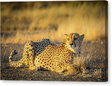 Cheetah Portrait Canvas Print by Inge Johnsson
