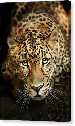 Cheetaro Canvas Print by Big Cat Rescue