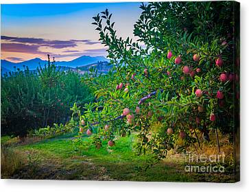 Chelan Apple Branch Canvas Print by Inge Johnsson