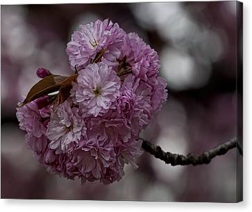 Cherry Blossoms 2 Canvas Print by Robert Ullmann