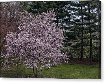 Cherry Tree And Blossoms Canvas Print by Robert Ullmann