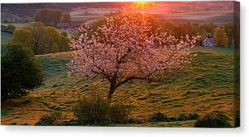 Cherry Tree In Bloom Broesarp Sweden Canvas Print by Panoramic Images