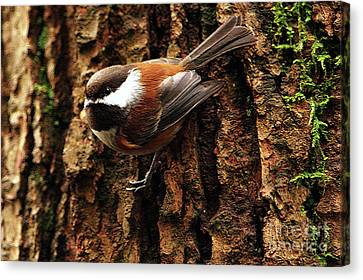 Chestnut-backed Chickadee On Tree Trunk Canvas Print by Sharon Talson