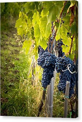 Chianti Grapes Canvas Print by Jim DeLillo