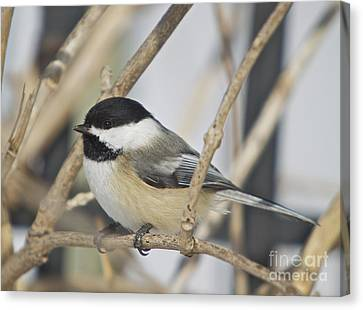Chickadee-5 Canvas Print by Robert Pearson