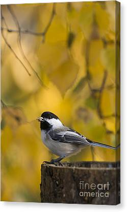 Chickadee On A Log Canvas Print by Tim Grams