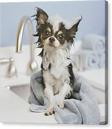 Chihuahua Puppy Wrapped In Towel On Sink, Close-up Canvas Print by GK Hart/Vikki Hart