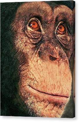 Chimp Canvas Print by Jack Zulli