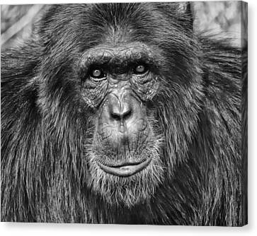 Chimpanzee Portrait 1 Canvas Print by Richard Matthews