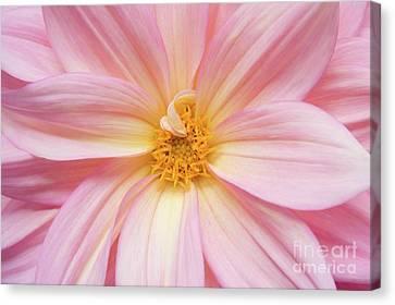 Chinese Chrysanthemum Flower Canvas Print by Julia Hiebaum