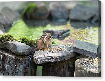 Chipmonk With Mouth Full Of Food Canvas Print by Dan Friend