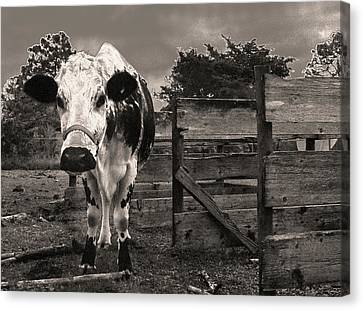 Chocolate Chip At The Stables Canvas Print by T Brian Jones