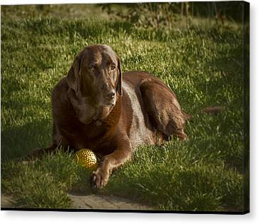Chocolate Lab At Rest Canvas Print by Jean Noren