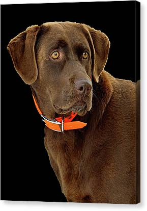 Chocolate Lab Canvas Print by William Jobes