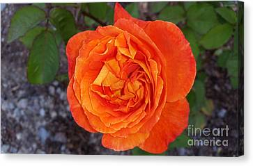 Christchurch  Rose Canvas Print by Joyce Woodhouse