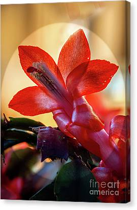 Christmas Cactus Flower Canvas Print by Robert Bales