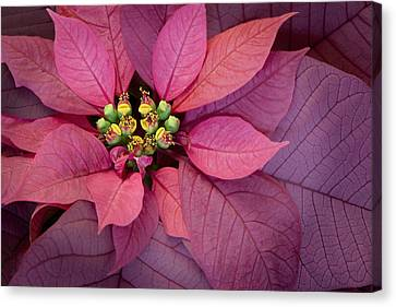 Christmas Poinsettia Canvas Print by Barbara Smith