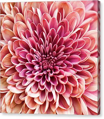 Chrysanthemum Canvas Print by Jody Trappe Photography